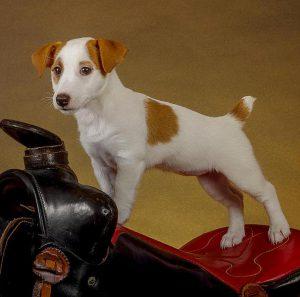 Сравнение двух лучших собак-компаньонов Парсон Рассел терьер и Джек Рассел терьер: отличия пород