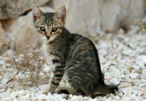 Мини-леопард в доме: знакомимся с калифорнийской сияющей кошкой