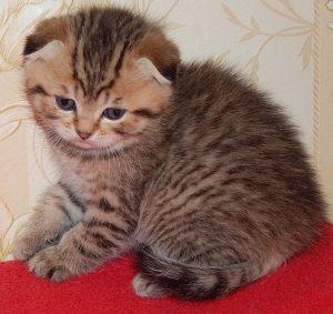 Порода кошки у тиграна thumbnail