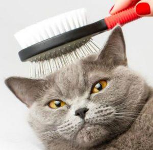 Одна из самых редких пород кошек Британская прямоухая: описание породы и сложности в уходе