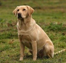 Labrador-pal