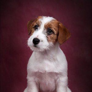 Активные и жизнерадостные собаки Джек Рассел терьер Брокен: описание и характер породы