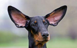 некупированные уши доберман
