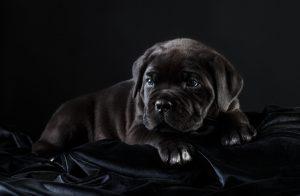 щенок кане-корсо