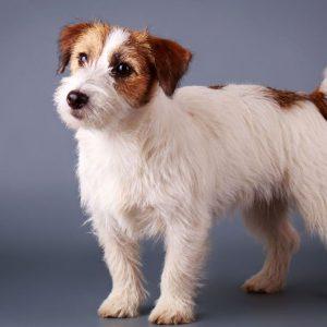 Изобретательный и умный пес Джек Рассел терьер жесткошерстный: описание и правила ухода