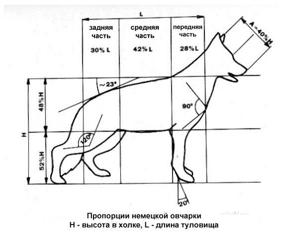 Все, что нужно знать о Немецкой овчарке: стандарты породы, размеры и вес по месяцам