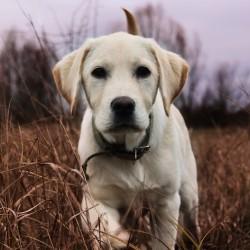 Лабрадор порода собаки