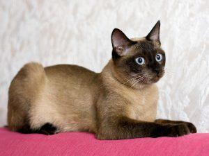 Разновидности окрасов котов тайской породы