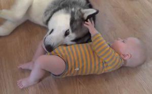 хаски и ребенок