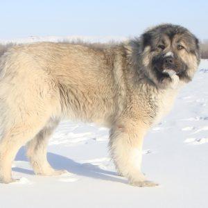 Мохнатый и умный охранник очага Кавказская овчарка: характер и отзывы