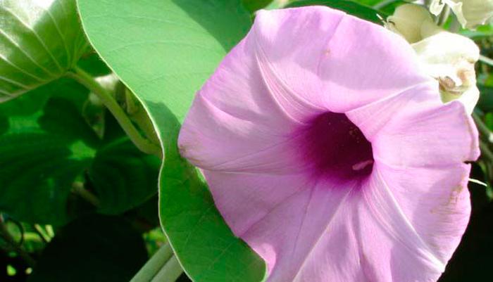 Гавайская роза в составе курительных смесей