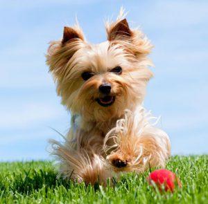 Все о комнатных собачках Йоркширский терьер: как поставить и когда встают уши?