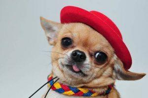Болезни собак чихуахуа: симптомы и лечение