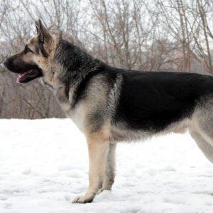 Самая умная и верная собака Немецкая овчарка: разновидности, как правильно выбрать щенка?