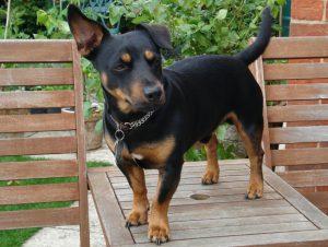 Универсальная пастушья собака ланкаширский хилер: характеристика породы
