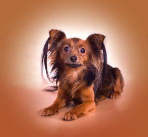Суетливая и привлекательная собачка Московский Той Терьер длинношерстный: описание и характер породы
