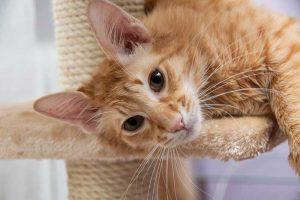 Длинноухие яванские коты (яванез): что надо знать, чтобы подружиться с питомцем
