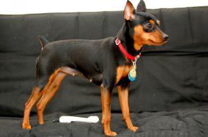 Собака пинчер, карликовый мини доберман: капризность и большой ум в маленьком теле