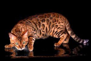 Описание бенгальской кошки, особенности ухода за питомцем, цена