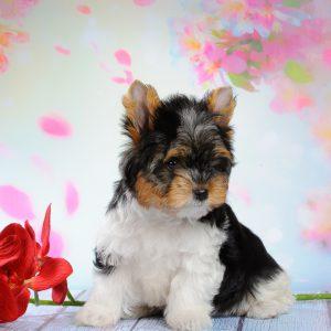 Компактная и гордая собака карликовый Йоркширский терьер: описание породы