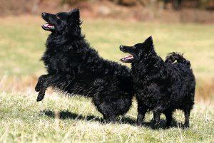 Знакомимся с муди: собака с задорным, веселым нравом