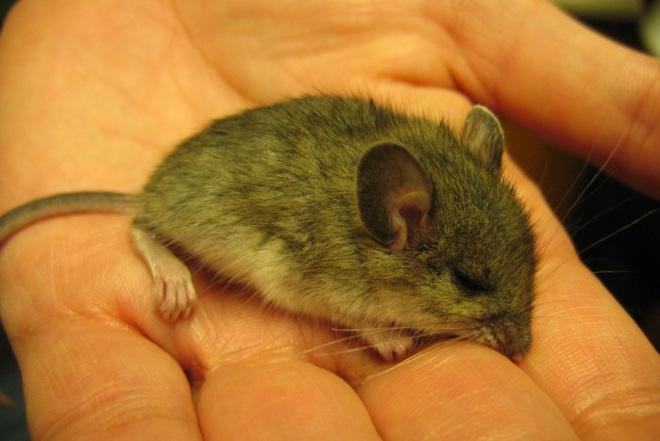 мышь на ладоне