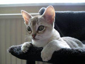 Сингапура: кошка, занесенная в Книгу Рекордов Гиннеса за миниатурные размеры