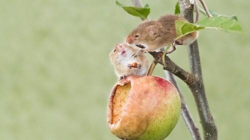 грызуны на яблоне