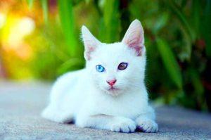 Все о белых котах альбиносах животных с генетическим сбоем