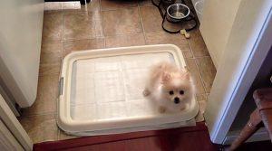 Способы приучения шпица к пеленке в туалете: полезные советы