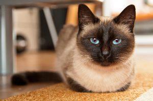 Что представляет собой сиамская кошка: характер, содержание, цена