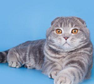 Параметры котят и взрослых кошек шотландской вислоухой породы: средний вес и рост