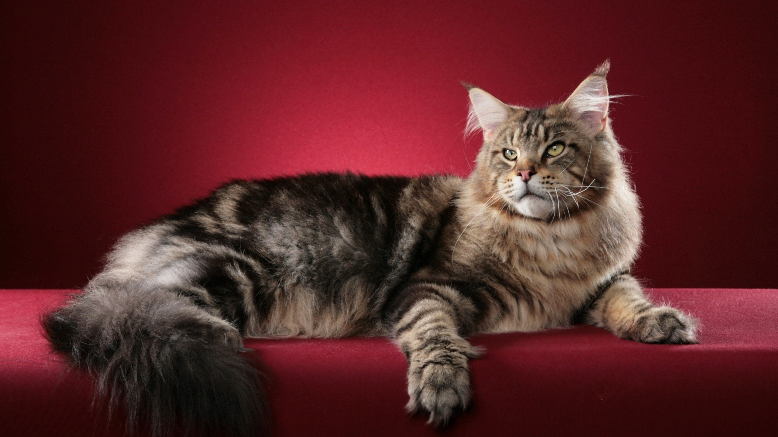 Maine Coon Cat Wallpapers 040 High Resolution 2560 X 1440 - Picturegallerywalls