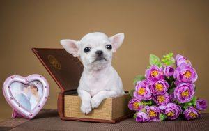 Средняя продолжительность жизни собак чихуахуа в домашних условиях