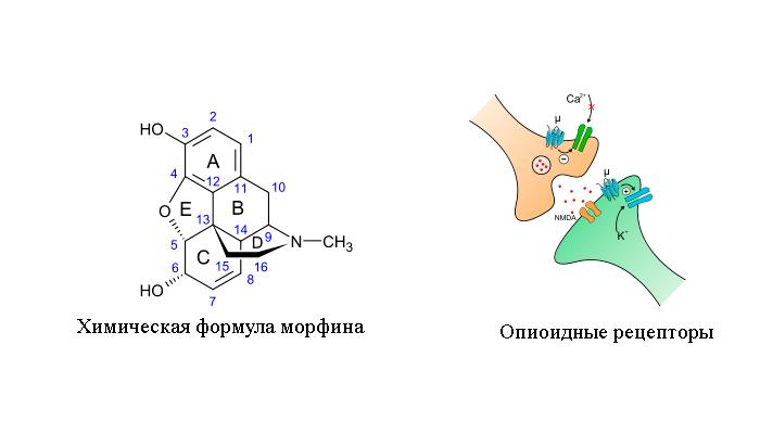 Воздействие опиата на опиоидные рецепторы человека
