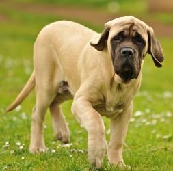 Цена собаки мастиф