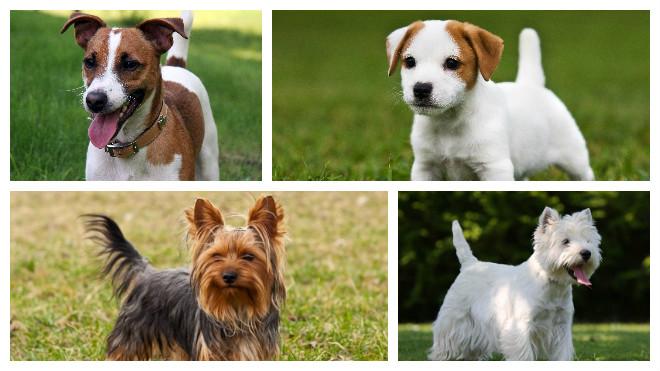 Обзор разновидностей породы Терьер: описание средних и маленьких типов собак
