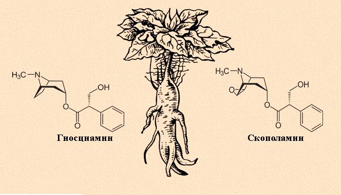 Токсические алколоиды в составе Мандрагоры