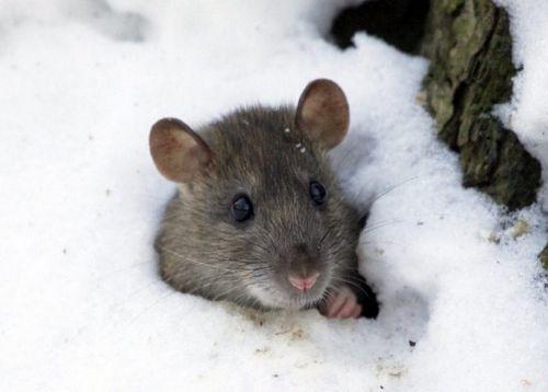 Защита винограда от мышей