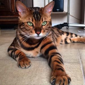 Разновидности редких и распространенных пород кошек с тигровым окрасом