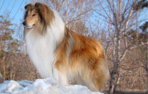 красивая шотландская овчарка