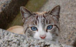 Очаровательные кошки с васильковыми глазами охос азулес: особенности породы