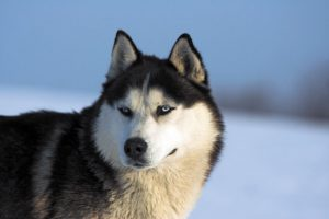 Северная лайка: характеристика питомца, прекрасного охранника и помощника