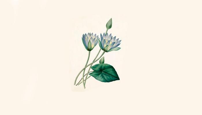 Строение растения Голубой лотос