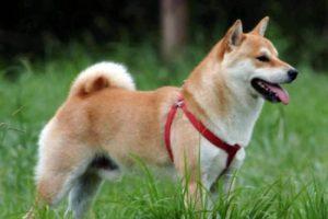 Японская порода хоккайдо: отличительные особенности восточного животного