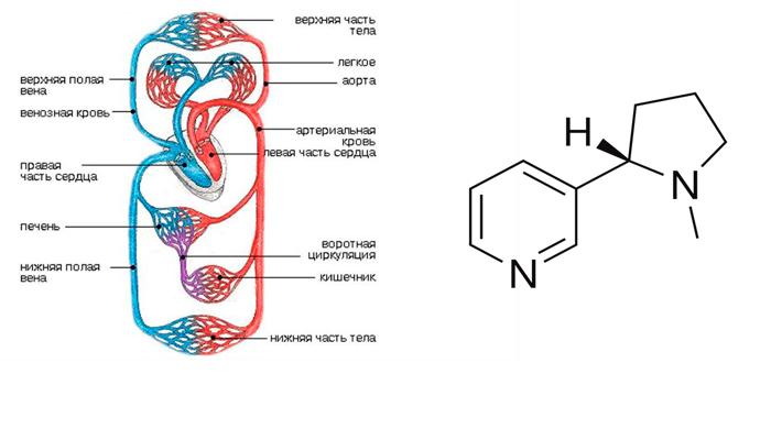 Влияние эндогенного никотина на улучшение циркуляции крови