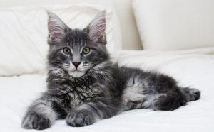 Особенности поведения и характера взрослого мейн куна и котенка
