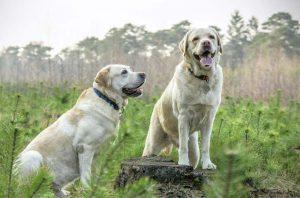 Золотистый ретривер и лабрадор ретривер: в чем разница между двумя породами