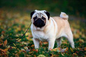 Карликовый мопс: особенности ухода за карманной собачкой