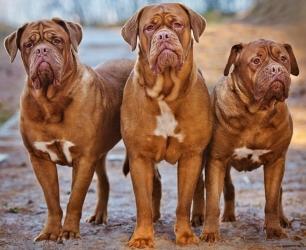 bordoskiy-dog-opis